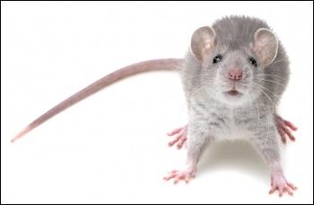Rat, British Pest Control Association/CC