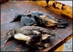 Birds killed as a result of oil from the Exxon Valdez spill, photo Exxon Valdez Oil Spill Trustee Council